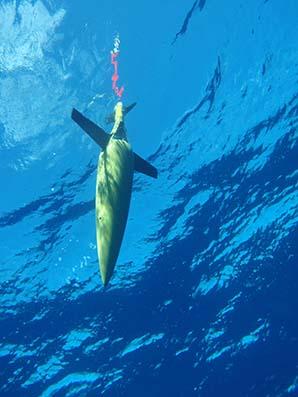 Thumbnail of ocean glider (Photo: Australian Institute of Marine Science).