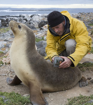 Australian sea lions are being utilised as 'ocean observers' collecting information to help scientists better understand ocean circulation and the ecology of South Australia's productive shelf waters. MISA pelagic ecologist, A/Prof Simon Goldsworthy is pictured removing a radio tracking aerial from an Australian sea lion on Dangerous Reef off Port Lincoln, South Australia (Photo: Roy Hunt, Aust Geographic)